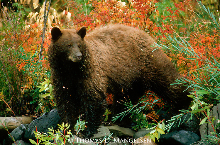 Portrait of a black bear in Yellowstone National Park.