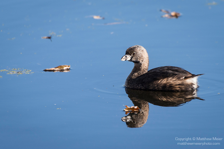 Brazoria County, Damon, Texas; a Pied-billed Grebe reflecting in the blue sky surface of the slough in early morning sunlight