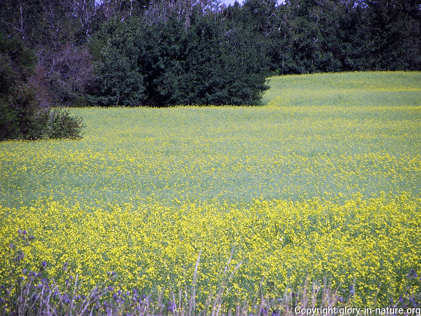 Canola fields close to St. Albert, Alberta.
