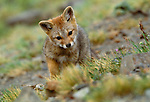 Argentine grey fox kit, Torres del Paine National Park, Chile