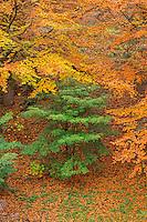 ORPTH_117 - USA, Oregon, Portland, Hoyt Arboretum, Autumn color of American beech trees (Fagus grandifolia).