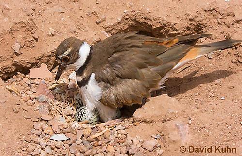 0510-1123  Killdeer, Adult Sitting on Eggs, Charadrius vociferus  © David Kuhn/Dwight Kuhn Photography