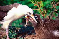 bird, Laysan Albatross, Phoebastria immutabilis, adult feeding chick by regurgitation, on Green Island, Kure Atoll, Papahanaumokuakea Marine National Monument, Northwestern Hawaiian Islands, Hawaii, USA, Pacific Ocean