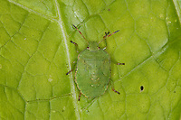 Grüne Stinkwanze, Stink-Wanze, Palomena viridissima, Jungtier, Nymphe, green shield bug