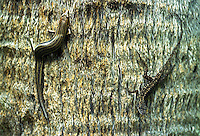 A brown anole, right, and a skink on a tree , Daytona Beach, FL . (Photo by Brian Cleary / www.bcpix.com)