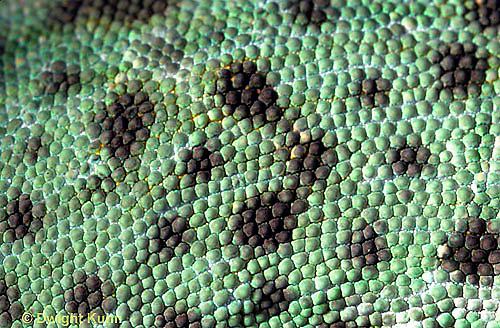 CH15-009z  African Chameleon - close-up of skin, scales - Chameleo senegalensis