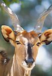 Giant eland, Africa