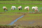 Asia, Vietnam, nr. Hoi An. People working in a rice field near Hoi An.