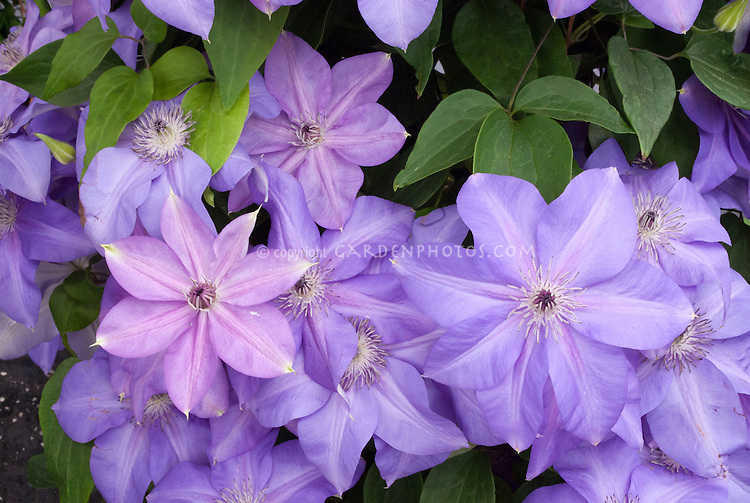 Clematis Shimmer climbing vine, blue flowers, lilac