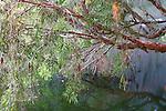 Eucalyptus reflecting in Lennard River, Western Australia.