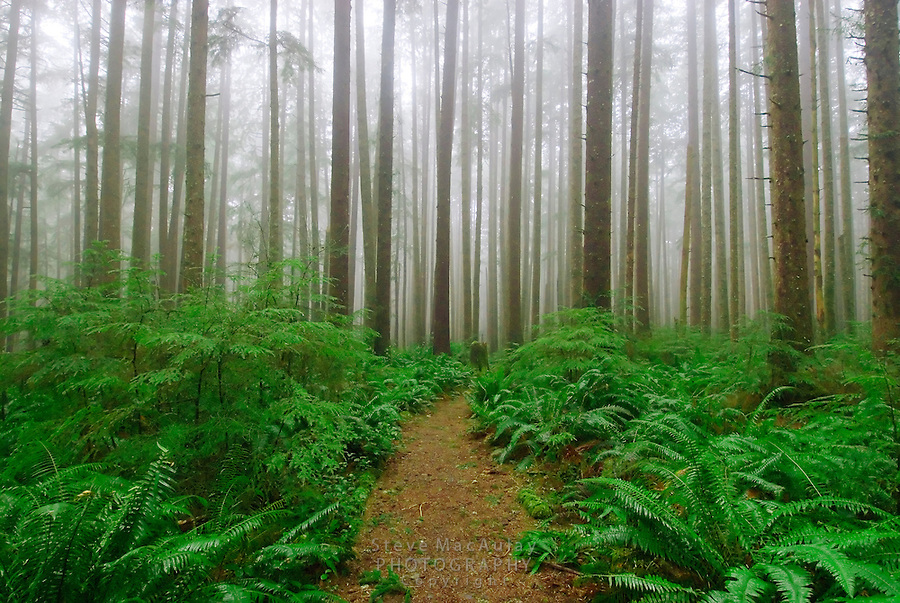 Fern lined, foggy forest trail to Third Beach, Olympic National Park, Coastal Strip, Olympic National Park, WA.