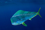 Mahi mahi, Coryphaena hippurus, also known as dorado or dolphinfish. Cat Island, Bahamas, Atlantic Ocean.