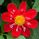 Dahlia 'Trelyn Crimson', mid August.
