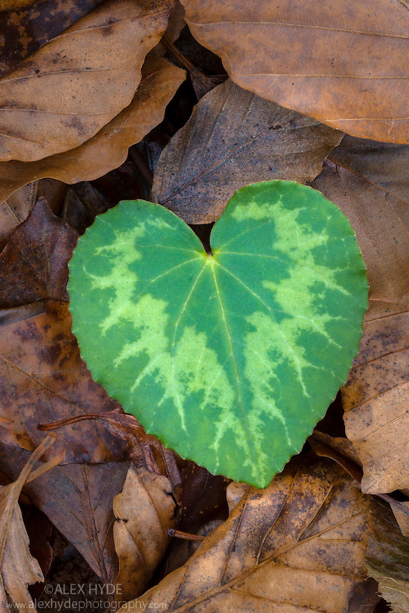 Heart-shaped leaf of Alpine Cyclamen {Cyclamen purpurascens}. Plitvice Lakes National Park, Croatia. January.
