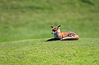 one of the local foxes keeping an eye on play during the second round of the Irish Womans Open Strokeplay Championship, Co Louth Golf Club, Baltray, Drogheda, Co Louth, Ireland. 12/05/2018.<br /> Picture: Golffile | Fran Caffrey<br /> <br /> <br /> All photo usage must carry mandatory copyright credit (&copy; Golffile | Fran Caffrey)