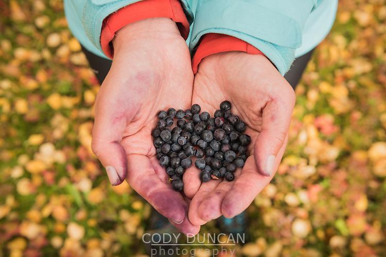 Female hiker holds hands full of wild blueberries in autumn landscape, Kunglseden trail, Lapland, Sweden