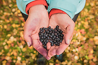 Female hiker holds hands full of wild blueberries in autumn landscape, Kunglseden trail, Lapland, Sweden