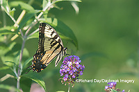 03023-03111 Eastern Tiger Swallowtail (Papilio glaucaus) on Butterfly Bush (Buddleja davidii) Marion Co. IL