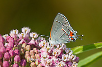 03191-00610 Gray Hairstreak butterfly (Strymon melinus) on Swamp Milkweed (Asclepias incarnata) Marion Co., IL
