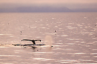 humpback whale, Megaptera novaeangliae, surfacing and diving in calm sea, White Island, Svalbard, Norway, Arctic Ocean