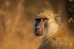 Yellow Baboon (Papio cynocephalus), Kafue National Park, Zambia