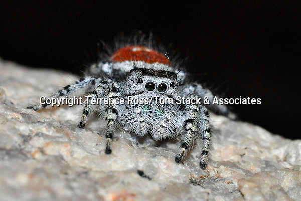 Red jumping spider, Phidippus formosus, California desert.