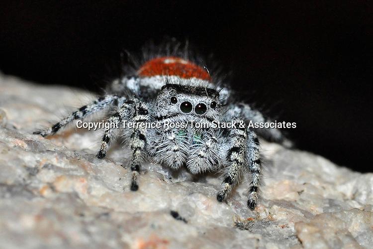 Red jumping spider, Phidippus formosus, California desert.