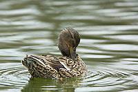 female Mallard duck(Anas platyrhynchos)