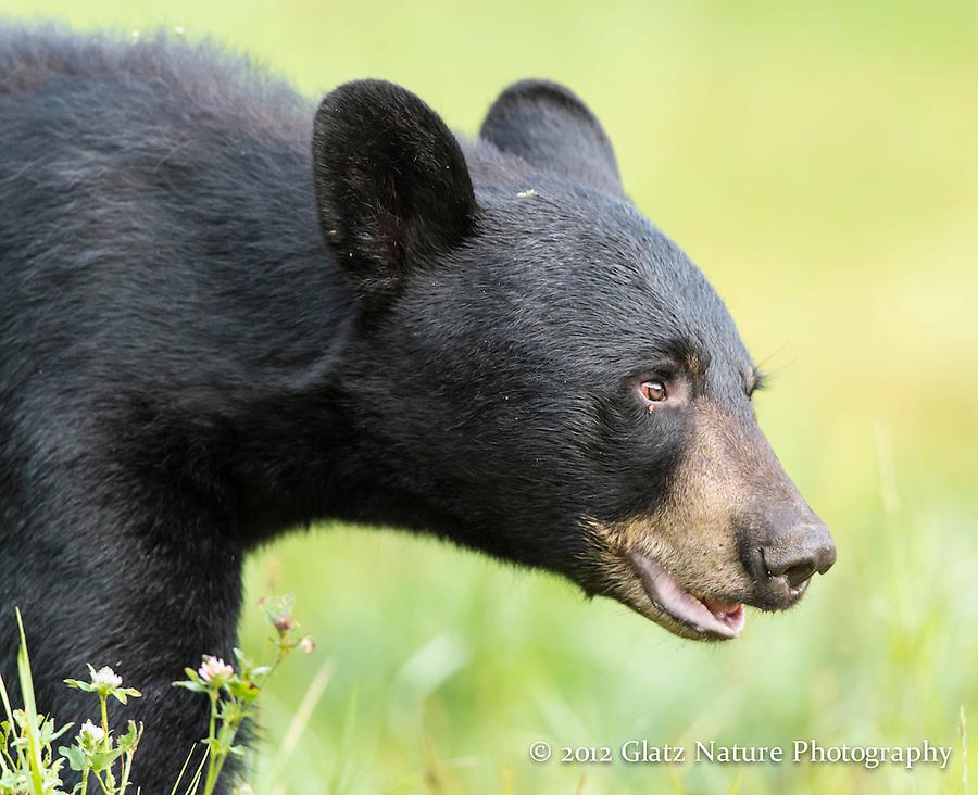 Male Black Bear (Ursus americanus) approaches, Northern Minnesota.
