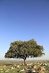 Israel, Lower Galilee, an Oak tree at Tel Govel by Beth Keshet scenic road