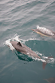Stock Photos of Common Dolphins