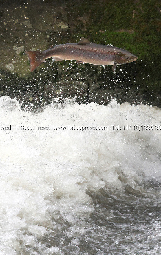 18/10/12 ..Salmon jump the weir at Ellastone, on The River Dove on their way upstream to spawn...After hundreds of years of pollution an English river has seen the successful reintroduction of salmon to its waters...Fish are once again leaping up the weirs on the The River Dove which runs along the Derbyshire and Staffordshire border. ..Similar to story in the film 'Salmon Fishing in The Yemen', young salmon, known as parr, were first put into the Dove in 1998. ..The fish jumping the weir at Ellastone, near Ashbourne yesterday would have gone to sea in Spring 2009 and have spent two winters at sea before undertaking the mammoth 2000 mile journey back across the Atlantic over the course of the last year. .Small numbers of salmon were first spotted returning to the Dove ten years ago, but numbers have grown each year. Yesterday hundreds of adult fish were seen heading up-stream to spawning grounds high up in the Peak District..One man who came to watch the spectacle yesterday said: ?When I was a boy my father told me that there'd never be salmon in the dove in his or my lifetime. He dead now but here I am seeing them - it's truly amazing?..Young fish are still being put into the river each year and work is being done to create fish ladders or passes at many weirs along the river Trent and Dove to help the fish on their journey. ?Salmon can leap waterfalls but weirs can be more of a problem. The salmon tend to leap into the face of the weir and, if they are not knocked out, swim hard to try and get up. The problem is that there is often too much white water for their tails to gain purchase and so, more often than not, they are washed back down again and again....All Rights Reserved - F Stop Press.  www.fstoppress.com. Tel: +44 (0)1335 300098.Copyrighted Image. Fees charged will reflect previously agreed terms or space rates for individual publications, states or country.
