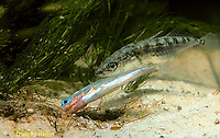 1S50-002z  Three Spined Stickleback - male leading female to nest, courting behavior  - Gasterosteus aculeatus