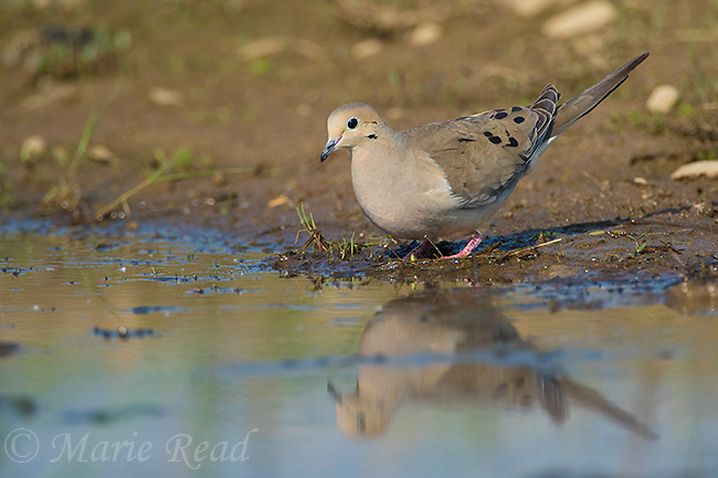 Mourning Dove (Zenaida macroura) comes to the edge of a pond to drink, Caroline, New York, USA
