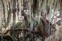 Spanish Moss hanging from trees on Jekyll Island Georgia.