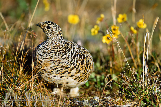 Rock ptarmigan on Keno Hill, Yukon