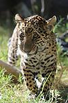 Jaguar cub playing with stick.. Captive