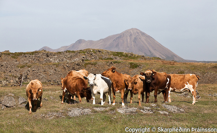 Bovine at Mývatn, north Iceland