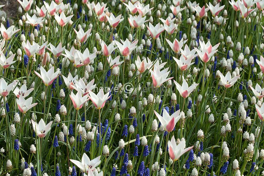 """Hollande, région des champs de fleurs, Lisse, Keukenhof, massif avec tulipes 'Lady Jane' et muscaris 'White Beauty' // Holland, """"Dune and Bulb Region"""" in April, Lisse, Keukenhof, tulips 'Lady Jane' and Grape Hyacinth or muscaris 'White Beauty'"""
