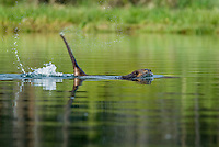 Beaver (Castor canadensis) slapping its tail as a warning to other beaver that an intruder is about.  Western U.S., spring.