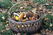 Poland. Old basket of wild mushrooms.