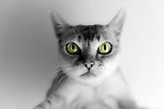 Little Singapura Cat, black and white except for big golden green eyes with confused look. This pedigree Singapura has big eyes typical of thie small affection breed.