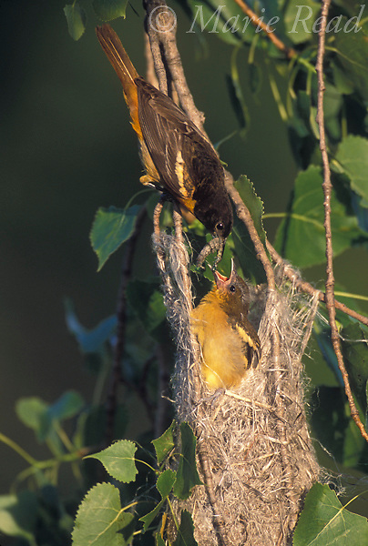 Baltimore Oriole (Icterus galbula) female feeding nestling at nest, New York, USA <br /> Slide # B166-358