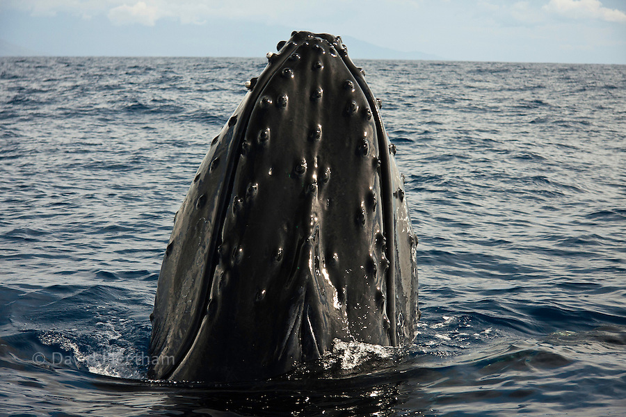 """This humpback whale, Megaptera novaeangliae, is performing a behavior of the coast of Maui, Hawaii, known as spyhopping.  The bump-like knobs on the top of the head are called tubercles. Each protuberance contains at least one stiff hair. The purpose of these hairs is not known, though they may provide the whale with a sense of """"touch."""""""