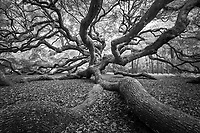 The outstretched arms of the majestic Angel Oak.<br /> Edition Size 200 Limited; 25 Artist Proof