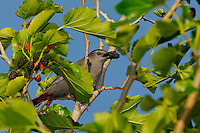 Gray Catbird, Rockport, Texas