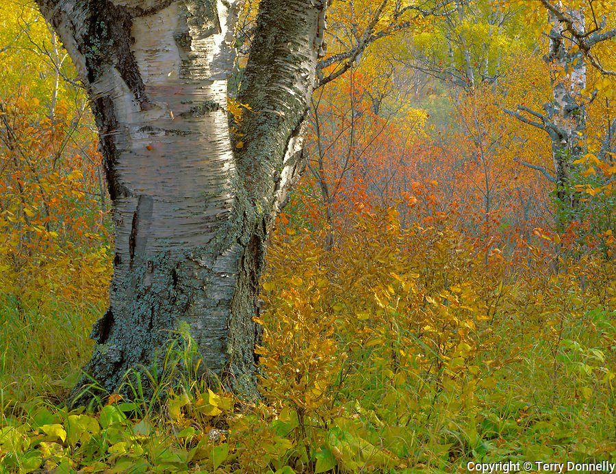 An ancient white birch (Betula papyrifera) stands in a fall forest