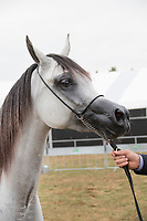Headshot of arab horse, showing handlers hand holding the lead.