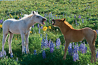 Wild Horse colts being playful in wildflowers.