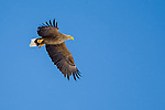 Hokkaido, Japan<br /> White tailed sea eagle (Haliaeetus albicilla) in flight, near Tsuri Village